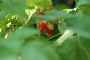 raspberry1 300x199 Reach!